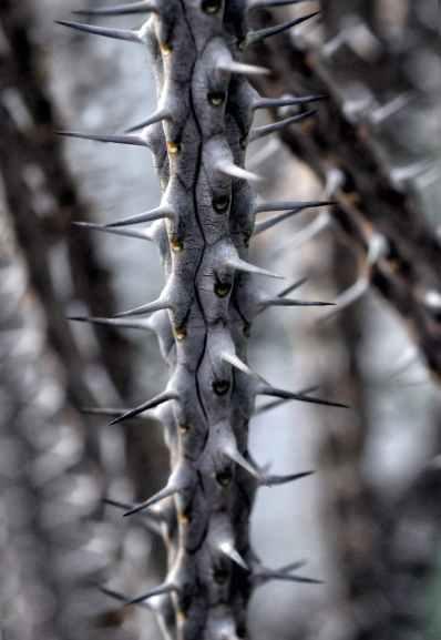plant branch spice alluaudia procera